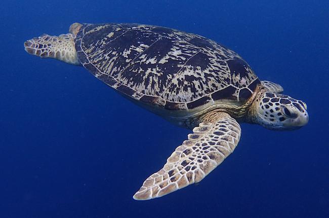 turtle-sipadan